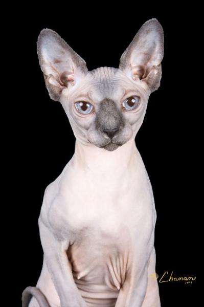 Baremews Blue Point Sphynx Queen With Blue Eyes
