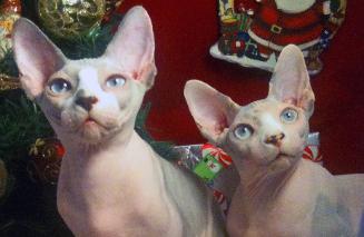 BareMews Sphynx Past Kittens
